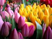 Тюльпаны оптом в Пинске. Доставка по РБ